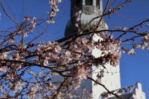 Blomster springer ud på Budolfi Plads
